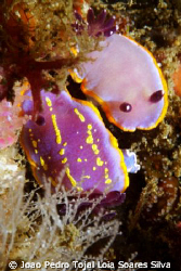 An odd couple: Chromodoris purpurea mating with Chromodor... by Joao Pedro Tojal Loia Soares Silva 